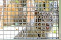 Biały tygrys w klatce Obrazy Stock