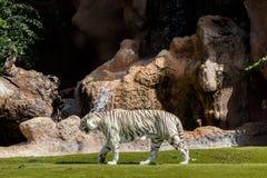 Biały tygrys w Tenerife zoo obrazy stock