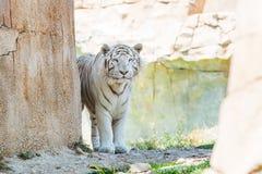 Biały tygrys w zoo Benidorm Obrazy Royalty Free