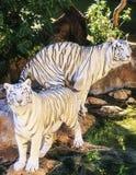 Biały tygrys w zoo Hiszpania Obrazy Stock