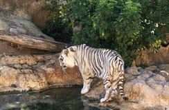 Biały tygrys w zoo Hiszpania Fotografia Stock