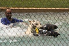 Biały tygrys Wykonuje z swój trenerem Zdjęcie Stock