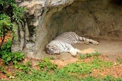 Biały tygrysi dosypianie Obrazy Stock