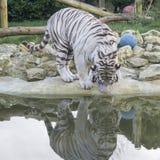 Biały tygrysi odbicie Zdjęcia Royalty Free