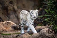 Biały tygrysi odprowadzenie przy Loro parkiem na Tenerife wyspie, Hiszpania Zdjęcia Stock