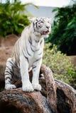 Biały tygrysi odprowadzenie przy Loro parkiem na Tenerife wyspie, Hiszpania Obrazy Royalty Free