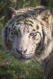 Biały tygrysi portret Zdjęcia Royalty Free