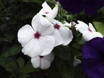 Biały vinca kwiat Obraz Royalty Free