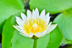 Biały Waterlily Fotografia Stock
