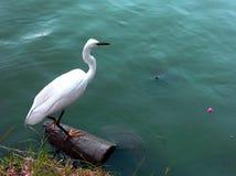 Biały wielki egret Zdjęcia Stock