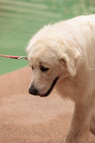 Biały Wielkich Pyrenees pies zdjęcie royalty free