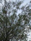 Biały Wierzbowy drzewo Zdjęcia Royalty Free