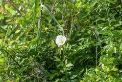 Biały Wildflower Zdjęcia Royalty Free