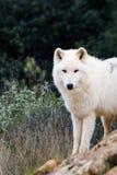biały wilk Zdjęcia Stock