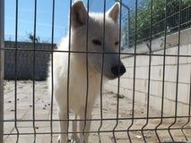 Biały wilk przy zoo Fotografia Stock