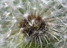 Biały wiosny dandelion kwiat Zdjęcie Stock
