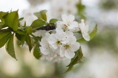 Biały wiosny drzewo Zdjęcia Royalty Free