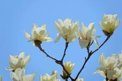 Biały Yulan kwiat Obrazy Royalty Free