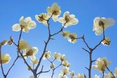 Biały Yulan kwiat Obrazy Stock