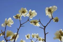 Biały Yulan kwiat Fotografia Stock