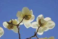 Biały Yulan kwiat Zdjęcia Stock