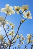 Biały Yulan kwiat Obraz Stock