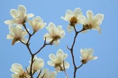 Biały Yulan kwiat Fotografia Royalty Free