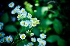 Białych kwiatów Bellis perennis Orastie Hunedoara Rumunia Fotografia Stock