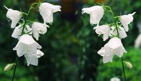 Białych kwiatów bluebells po deszczu Obraz Royalty Free