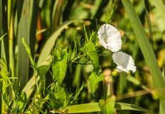 Białych kwiatów Calystegia sepium Fotografia Royalty Free
