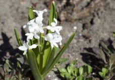 Białych kwiatów kwiat Zdjęcia Stock