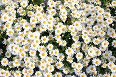 Białych kwiatów Leucanthemum Zdjęcia Stock