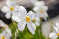 Białych kwiatów Narcisus poeticus na szarym tle Obraz Stock