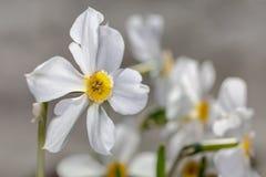 Białych kwiatów Narcisus poeticus na szarym tle Fotografia Royalty Free