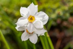 Białych kwiatów Narcisus poeticus w ogródzie Zdjęcia Stock