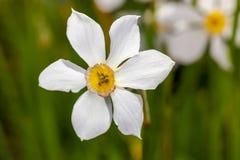 Białych kwiatów Narcisus poeticus w ogródzie Fotografia Stock