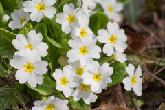 Białych kwiatów pierwiosnki (Primula Vulgaris) Obraz Royalty Free