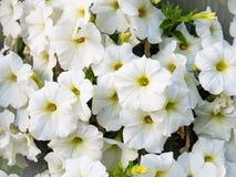 Białych kwiatów tekstura Obraz Stock