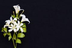 Bia?ych kwiat?w ja?minowa lokalna flora Asia na czerni obrazy royalty free