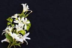 Bia?ych kwiat?w ja?minowa lokalna flora Asia na czerni zdjęcia royalty free