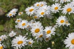 Białych stokrotek flowerbed Obraz Stock
