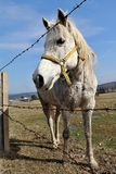 Biała żeńskiego konia pozycja za drutu kolczastego ogrodzeniem Fotografia Stock