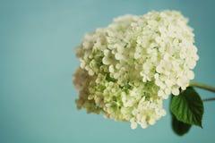Biała hortensja kwitnie na błękitnym rocznika tle, piękny kwiecisty tło Obrazy Stock