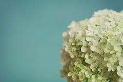 Biała hortensja kwitnie na błękitnym rocznika tle, piękny kwiecisty tło Zdjęcia Stock