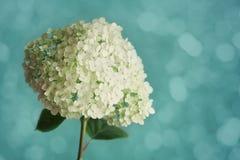 Biała hortensja kwitnie na błękitnym rocznika tle, piękny kwiecisty tło Obrazy Royalty Free