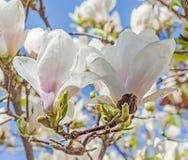 Biała magnolii gałąź kwitnie, drzewni kwiaty, niebieskiego nieba tło Zdjęcia Stock