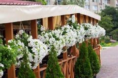 Biała naparstnica kwitnie w flowerpots Zdjęcia Royalty Free