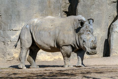 Biała nosorożec Zdjęcia Royalty Free