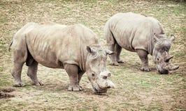 Biała nosorożec, dwa zwierzęcia (Ceratotherium simum simum) Zdjęcie Stock