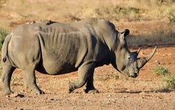 Biała nosorożec, Kruger park narodowy, Południowa Afryka Obrazy Royalty Free